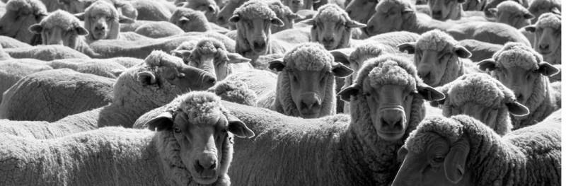 BG_merino-sheep-feature-800x263