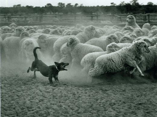 Ste Ovca, Ovčiarsky Pes alebo Vlk?